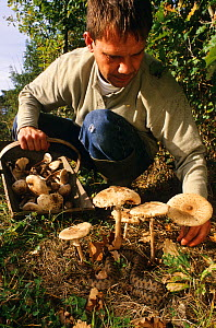 Man picking mushrooms with Asp viper (Vipera aspis) nearby, France, Europe. Controlled conditions.  -  Daniel Heuclin