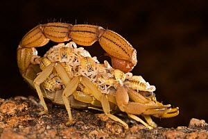 Desert scorpion (Parabuthus sp) carrying young on back, Southern Africa - Ingo Arndt