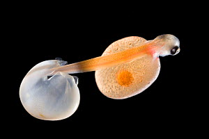 Sea trout (Salmo trutta trutta) alevin just hatched with full yolk sac, Europe  -  Ingo Arndt