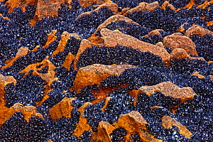 Bed of Blue mussels (Mytilus sp.) densely packed together on rock, Lamberts Bay, South Africa - Ingo Arndt