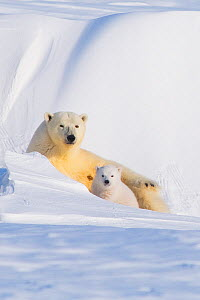 Portrait of Polar bear (Ursus maritimus) sow with spring cub, newly emerged from their den in late winter, Arctic coast, Alaska, USA - Steven Kazlowski