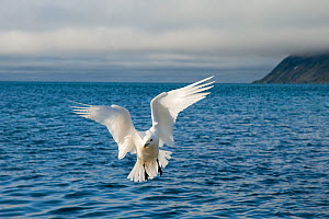 An adult Ivory gull (Pageophilia eburnea) flying over the coast of Svalbard in summer, Norway  -  Steven Kazlowski