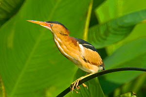 Least bittern (Ixobrychus exilis) male perched on vegetation, South Florida, USA, May  -  Barry Mansell
