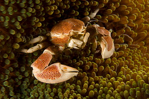 Anemone / Porcelain crab (Neopetrolisthes maculatus) in its host anemone. Malapascua Island. Visayan Sea, Philippines - Tim Laman