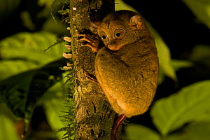 Wild Western / Sunda tarsier (Tarsius bancanus) on tree trunk at night.  Danum Valley Conservation Area, Borneo, Sabah, Malaysia  -  Tim Laman