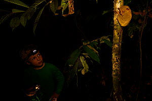 Young boy aged 7 (model released) watching a  Wild Western / Sunda tarsier (Tarsius bancanus) on tree trunk at night.  Danum Valley Conservation Area, Borneo, Sabah, Malaysia, July 2007  -  Tim Laman