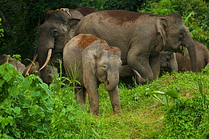 A group of Borneo Pygmy elephants (Elephaa maximus borneensis) feeding on forest vegetation, including a juvenile, and large male with a radio collar. Borneo  -  Tim Laman