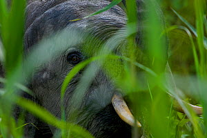 Head portrait of young male Borneo Pygmy elephant (Elephas maximus borneensis) peering at the photographer through tall grass. Kinabatangan sanctuary, Borneo, Malaysia  -  Tim Laman