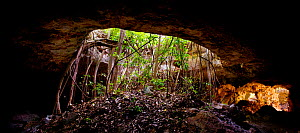 Roots of Fig trees (Ficus sp) growing in the collapsed Cenote Oxpeejool (sink hole), near Tekax, Yucatan, Mexico. Afternoon light illuminates the elongated cavern on the right. October 2009  -  Jack Dykinga