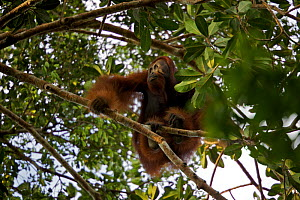 Young adult male Bornean Orangutan (Pongo pygmaeus) named Gordon, sitting in tree branches, Borneo, July 2007  -  Tim Laman