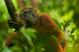 Adult female Bornean Orangutan (Pongo pygmaeus) resting on a large vine in the wild, in Gunung Palung NP, Borneo.  -  Tim Laman