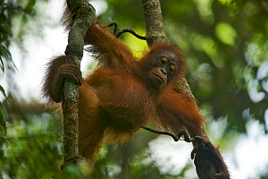 Juvenile female Bornean Orangutan (Pongo pygmaeus) called Betsy (daughter of Beth) hanging from vine, Gunung Palung NP, Borneo.  -  Tim Laman