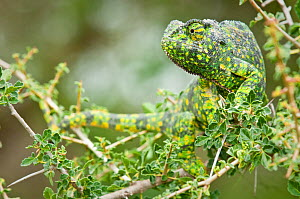 RF- Adult Flap-necked Chameleon (Chamaeleo dilepis). Ndutu Safari Lodge, Ngorongoro Conservation Area, Tanzania. February. (This image may be licensed either as rights managed or royalty free.)  -  Nick Garbutt