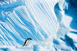 RF- Adelie Penguin (Pygoscelis adeliae) on iceberg. Yalour Islands, Antarctic Peninsula, Antarctica. February. (This image may be licensed either as rights managed or royalty free.)  -  Nick Garbutt
