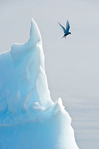 Arctic tern (Sterna Paradisaea) hovering in flight over an iceberg.Peterman Island, Antarctic Peninsula, Antarctica. February.  -  Nick Garbutt