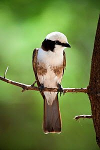Northern White-crowned Shrike (Eurocephalus rueppelli) perched on branch, Tarangire National Park, Tanzania. March. - Nick Garbutt