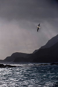 Wandering Albatross (Diomedea exulans) flying over rugged coast near Stromness, South Georgia, South Atlantic. January (digitally altered image)  -  Nick Garbutt