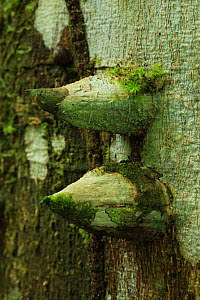 Spine-covered trunk of a White pricklyash tree(Zanthoxylum martinicense) in lowland tropical rainforest, Los Haitises National Park, Dominican Republic, Caribbean - Alan Watson