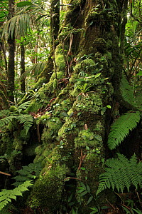 Moss-covered base of a Cola tree (Mora abbottii), with manacla or sierra palms (Prestoea montana), in cloud forest at 900 metres, Loma Quita Espuela Scientific Reserve, Dominican Republic, Caribbean  -  Alan Watson