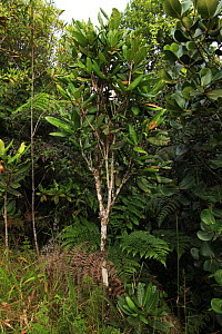 'Palo de vela' or Candle tree (Tabebuia ricardii) in tropical rainforest at 500 metres, Loma Quita Espuela Scientific Reserve, Dominican Republic. NB:This species is endemic to the Dominican Republic...  -  Alan Watson