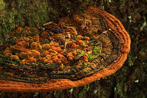 Bracket fungus on a Bullwood  / Cacao cimarron tree (Sloanea berteriana) in lowland tropical rainforest at 400 metres, Loma Quita Espuela Scientific Reserve, Dominican Republic. - Alan Watson