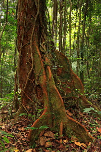 Buttressed base of a cola tree (Mora abbottii) in lowland tropical rainforest at 430 metres, Loma Quita Espuela Scientific Reserve, Dominican Republic, Caribbean  -  Alan Watson