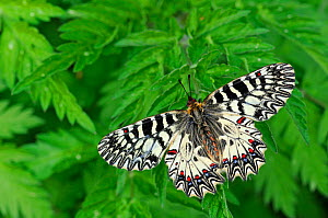 Southern Festoon Butterfly (Zerynthia polyxena) at rest on leaves. Captive bred specimen. Found throughout SE Europe.  -  Adrian Davies