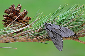 Pine Hawk Moth (Sphinx pinastri) at rest on Pine tree branch. Captive bred specimen. Widespread throughout England and Wales. - Adrian Davies