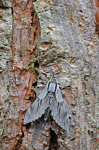 Pine Hawk Moth (Sphinx pinastri) at rest on Pine tree trunk. Captive bred specimen. Widespread throughout England and Wales. - Adrian Davies