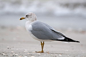 Ring-Billed Gull (Larus delawarensis) standing in profile, Sanibel Island, Florida, USA - Adrian Davies