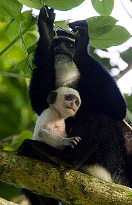Black and White Colobus monkey (Colobus guereza) mother with infant (less than one week old) sitting on tree branch, Kibale Forest National Park, Uganda  -  Suzi Eszterhas