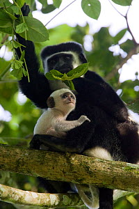 Black and White Colobus Monkey (Colobus guereza) mother with infant (less than one week old) Kibale Forest National Park, Uganda  -  Suzi Eszterhas