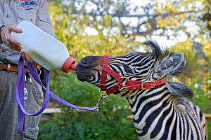Plains Zebra (Equus quagga) foal bottle feeding, Safari West, Santa Rosa, CA, USA. Editorial use only - Suzi Eszterhas