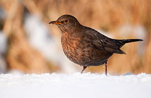 Female blackbird (Turdus merula) in the snow. Near Bradworthy, Devon, UK. January - Ross Hoddinott
