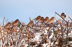 Social flock of House Sparrows (Passer domesticus) perched together in snowy hedgerow. Near Bradworthy, Devon, England, UK. January  -  Ross Hoddinott
