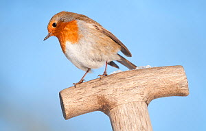 Robin (Erithacus rubecula) resting on spade handle in a garden, Nr Bradworthy, Devon, England, UK. January  -  Ross Hoddinott