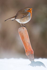 Robin (Erithacus rubecula) resting on trowel handle in a garden, Nr Bradworthy, Devon, England, UK. January  -  Ross Hoddinott