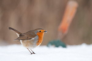 Robin (Erithacus rubecula) in snowy garden, with garden trowel in the background. Nr Bradworthy, Devon, England, UK. January  -  Ross Hoddinott
