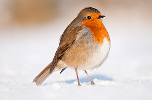 Robin (Erithacus rubecula) on snow covered garden lawn. Nr Bradworthy, Devon, England, UK. January  -  Ross Hoddinott