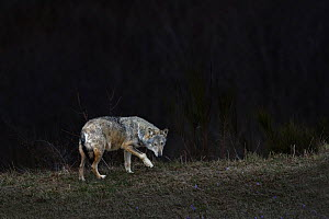 "A wild Grey Wolf (Canis lupus) roaming on the outskirts of a village at night, Tuscany ""Maremma"" Italy.  -  Angelo Gandolfi"