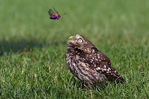 Little Owl (Athene noctua) standing on grass, observing a a Six-spot Burnet moth (Zygaena filipendulae) flying above. Tuscany, Italy  -  Angelo Gandolfi