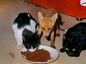 Red Fox (Vulpes vulpes) orphaned cub (called Rena) feeding alongside two domestic cats. - Angelo Gandolfi