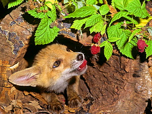 Red Fox (Vulpes vulpes) portrait of orphaned cub (called Rena)  feeding on raspberries. - Angelo Gandolfi