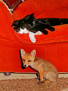 Red Fox (Vulpes vulpes) orphaned cub (called Rena) sitting in living room, alongside two domestic cats.  -  Angelo Gandolfi