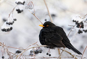 Blackbird (Turdus merula) male perched on branch with berries after heavy snowfall, Helsinki, Finland, Scandinavia, December. - Markus Varesvuo