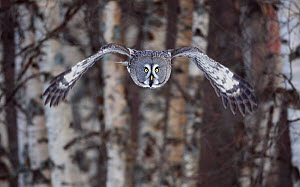 Great Grey owl (Strix nebulosa) flying through woodlands, Tornio, Finland, Scandinavia, March. - Markus Varesvuo