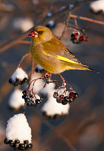 Greenfinch (Carduelis carduelis) perched on branch, feeding on snow covered berries, Vantaa Finland, Scandinavia, December.  -  Markus Varesvuo