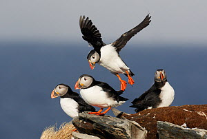 Small flock of Puffins (Fratercula arctica) perched on clastal ledge, one landing amongst the group, Norway, Scandinavia, April. - Markus Varesvuo