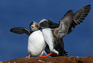 Puffins (Fratercula arctica) 'bill-knocking' in a display of courtship behaviour, Norway, Scandinavia, April.  -  Markus Varesvuo