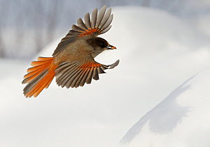 Siberian Jay (Perisoreus infaustus) flying over snow covered ground, carrying acorn in beak, Kuusamo Finland, Scandinavia, March.  -  Markus Varesvuo